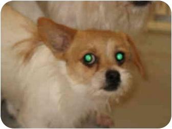 Chihuahua/Shih Tzu Mix Dog for adoption in South Lake Tahoe, California - Rex