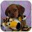 Photo 1 - Shepherd (Unknown Type)/Basset Hound Mix Puppy for adoption in McArthur, Ohio - CECILE