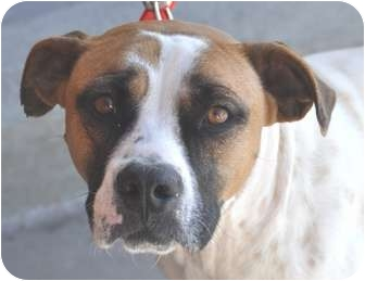 Boxer/American Bulldog Mix Dog for adoption in Atlanta, Georgia - Ivanna