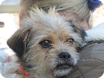 Shih Tzu/Lhasa Apso Mix Dog for adoption in Long Beach, New York - Shadow