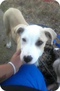 American Pit Bull Terrier Mix Puppy for adoption in Alamosa, Colorado - Darla