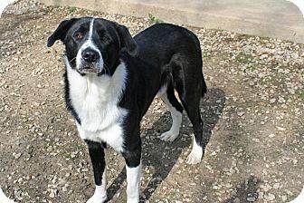 Border Collie/Labrador Retriever Mix Dog for adoption in Atchison, Kansas - Artie