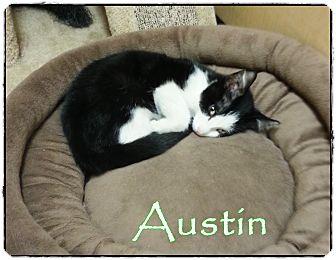 Domestic Shorthair Kitten for adoption in Palm desert, California - Austin