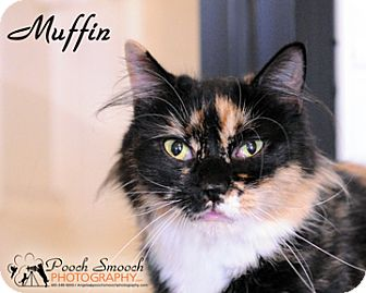 Domestic Longhair Cat for adoption in Broadway, New Jersey - Muffin