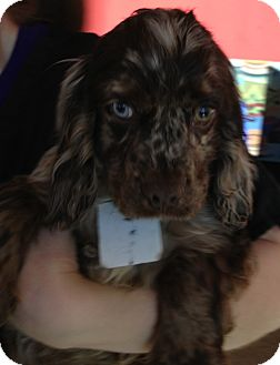 Cocker Spaniel Puppy for adoption in Fairview Heights, Illinois - Dexter