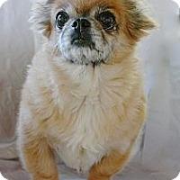 Adopt A Pet :: Peekaboo - Toluca Lake, CA