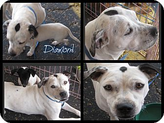 American Bulldog Mix Dog for adoption in Crowley, Louisiana - Diamond