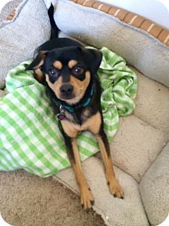 Miniature Pinscher/Beagle Mix Dog for adoption in Yorba Linda, California - Roxy - good with kids and cats
