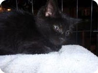Domestic Mediumhair Cat for adoption in East Brunswick, New Jersey - Gibson