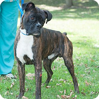 Boxer Mix Dog for adoption in New Martinsville, West Virginia - Spot