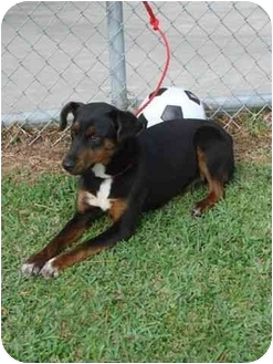 Doberman Pinscher Mix Puppy for adoption in Hammonton, New Jersey - Jingle