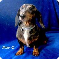Adopt A Pet :: SuzyQ - Chandler, AZ