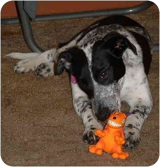 Dalmatian/Pointer Mix Puppy for adoption in Ashland, Ohio - Oreo