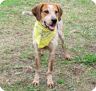 English (Redtick) Coonhound Dog for adoption in Port St. Joe, Florida - Russell-DAWGS