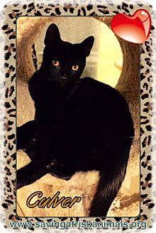 Domestic Shorthair Cat for adoption in Tucson, Arizona - Culver