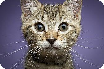 Domestic Shorthair Kitten for adoption in Royal Oak, Michigan - NEVEAH