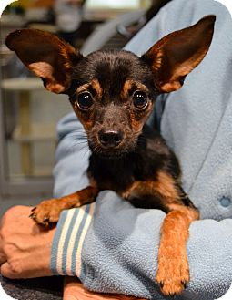 Chihuahua/Dachshund Mix Dog for adoption in Michigan City, Indiana - Smokey