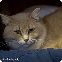 Somali Cat for adoption in Holden, Missouri - Michonne