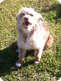 Australian Shepherd/Miniature Poodle Mix Dog for adoption in Hagerstown, Maryland - Jack
