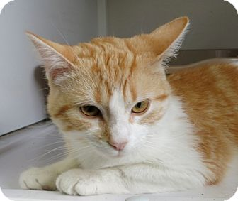 Domestic Shorthair Cat for adoption in White Cloud, Michigan - Goldie