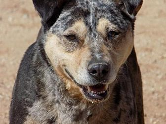 Catahoula Leopard Dog/Australian Shepherd Mix Dog for adoption in Apple Valley, California - Diva