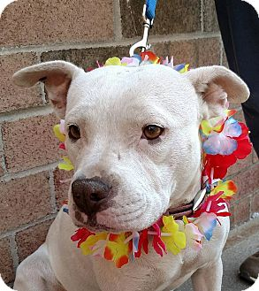 American Bulldog/Terrier (Unknown Type, Medium) Mix Dog for adoption in Detroit, Michigan - Betty-Adopted!