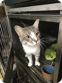 Domestic Shorthair Cat for adoption in Wanaque, New Jersey - Remi