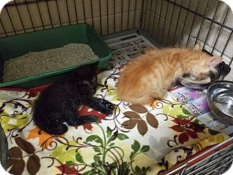 Domestic Mediumhair Kitten for adoption in Henderson, North Carolina - Tuesday Kittens (2)