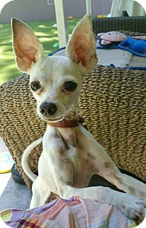 Chihuahua/Whippet Mix Puppy for adoption in Los Angeles, California - KJ