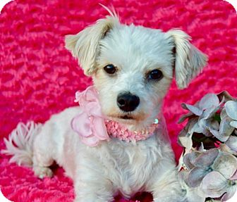 Maltese/Poodle (Miniature) Mix Dog for adoption in Irvine, California - Kiki