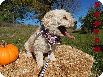 Miniature Poodle Mix Dog for adoption in Bucyrus, Ohio - Scotch