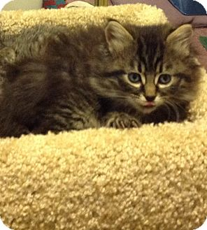 Domestic Mediumhair Kitten for adoption in Eureka, California - Elsa