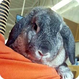 Lop-Eared Mix for adoption in Los Angeles, California - Alphie