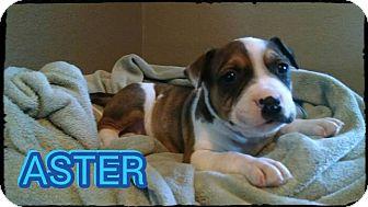 Bulldog/Bullmastiff Mix Puppy for adoption in Joshua, Texas - Aster