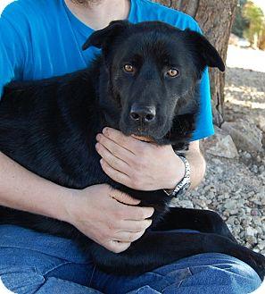 Retriever (Unknown Type)/Shepherd (Unknown Type) Mix Dog for adoption in Las Vegas, Nevada - Macbeth