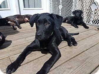 Labrador Retriever Mix Puppy for adoption in Waldorf, Maryland - Lightening