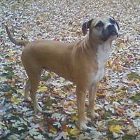American Pit Bull Terrier/Boxer Mix Dog for adoption in Toledo, Ohio - Vita