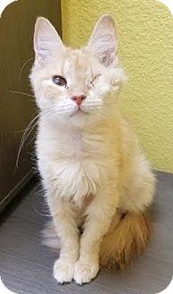 Domestic Mediumhair Cat for adoption in Benbrook, Texas - Cinnamon