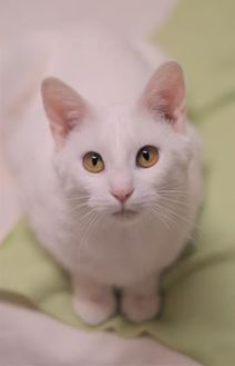 Domestic Shorthair/Domestic Shorthair Mix Cat for adoption in Dodgeville, Wisconsin - Cheerio