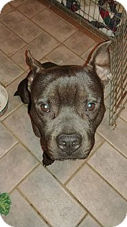 Staffordshire Bull Terrier/French Bulldog Mix Dog for adoption in Northeast, Ohio - Kipper