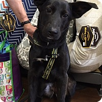 Labrador Retriever/Shepherd (Unknown Type) Mix Dog for adoption in Memphis, Tennessee - Diamond