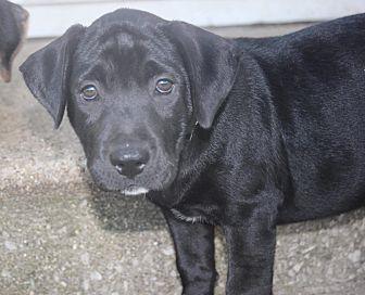 Labrador Retriever/Rottweiler Mix Puppy for adoption in Joliet, Illinois - Hawk
