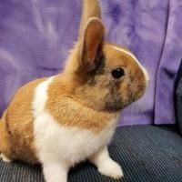 Harlequin/Dutch Mix for adoption in Kansas City, Missouri - Benny