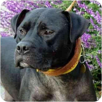 American Bulldog/American Pit Bull Terrier Mix Dog for adoption in Berkeley, California - Chaz