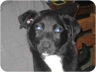 Labrador Retriever Mix Puppy for adoption in Columbus, Nebraska - Alfie