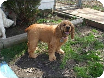 Cocker Spaniel Mix Dog for adoption in Mentor, Ohio - Annabelle 4yr Adopted