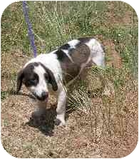 Basset Hound Mix Puppy for adoption in Broomfield, Colorado - Bailey