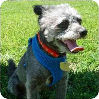 Poodle (Toy or Tea Cup) Mix Dog for adoption in San Clemente, California - SAILOR