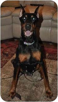 Doberman Pinscher Dog for adoption in Moon Township, Pennsylvania - Beauty