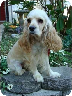Cocker Spaniel Dog for adoption in Sugarland, Texas - Penny